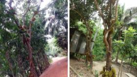 কাঁঠালের মৌ মৌ গন্ধে মাতোয়ারা আমতলীর ছোট্ট গ্রাম কালিবাড়ীর জনপথ